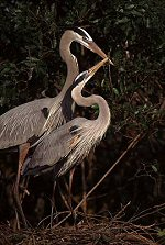 herons making nest, photograph by Brent VanFossen