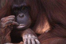 Orangutan, photograph by Brent VanFossen