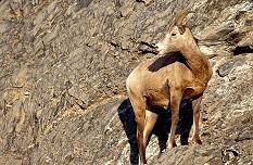 Big horn sheep stands along the sheer rock face. Photo by Brent VanFossen
