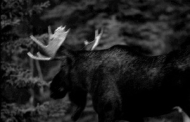 Photograph of a moose when we were too excited and the camera shook