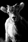 Example of side light on baby big horn sheep