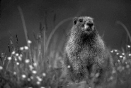 Example of a marmot in soft but not diffused light