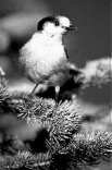 photo of a wild gray jay bird
