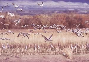 Birds in flight over ponds, Bosque del Apache, New Mexico, photograph by Brent VanFossen