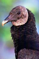 Black Vulture, photo by Brent VanFossen