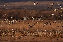 Birds in flight, Bosque Del Apache, NM. Photo by Brent VanFossen