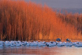 Sunrise on tall grasses with snow geese sleeping on the lake, Bosque del Apache, New Mexico, photograph by Brent VanFossen