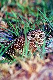 Baby burrowing owl peeks out, photo by Brent VanFossen