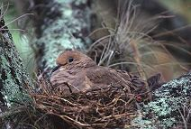 Mourning Dove on nest, photo by Brent VanFossen