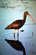 Glossy Ibis, photo by Brent VanFossen