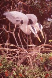 A pair of mated herons make their nest together. St. Augustine, Florida, Photo by Brent VanFossen