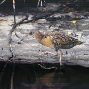 The King Rail is a hard bird to spot among the dark marsh undergrowth. Photo by Brent VanFossen