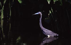 A little blue heron waits for dinner in the shallows, photo by Brent VanFossen