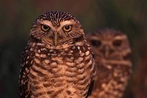 Burrowing Owls, Florida, photo by Brent VanFossen