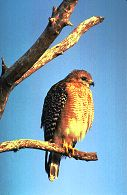 Red-shouldered hawk, photo by Brent VanFossen