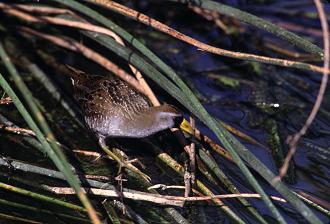 The elusive sora can often be found hidden in the bulrushes, photo by Brent VanFossen