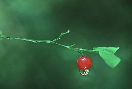 Water droplet on Huckleberry, photograph copyrighted Brent VanFossen