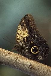Owl butterfly, photograph by Lorelle VanFossen