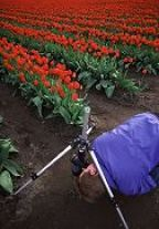 Duane Hansen gets down and dirty in the tulips. By inverting the center post of the tripod, the photographer can get right down on the ground for a different perspective or close-up work.  Photo by Lorelle VanFossen