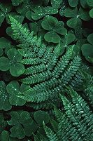 Ferns with water droplets in the early morning, photograph by Brent VanFossen