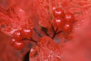 Highbush Cranberry, Alaska, photo by Brent VanFossen