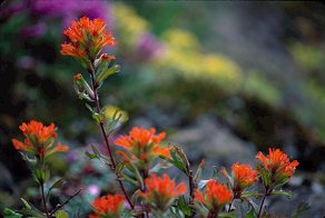 Indian paintbrush as a horizontal, photo by Brent VanFossen