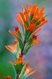 Indian Paintbrush wildflower using the same blurred background technique, photograph by Brent VanFossen