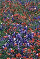 Field of wildflowers, Texas Hill Country, photograph by Brent VanFossen