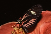 Notice how the black antenna disappears into the background with this butterfly, photograph by Lorelle VanFossen