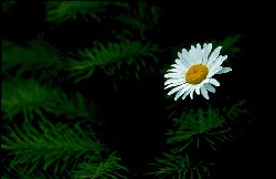 Single daisy photographed against fir tree branches, photograph by Brent VanFossen