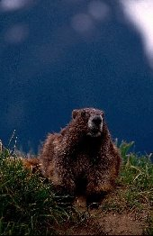 300mm lens and marmot