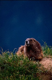 500mm lens and marmot