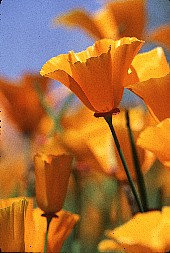 Poppy without the foreground blurred, photograph by Brent VanFossen