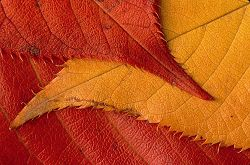 Photo of three autumn leaves closeup. How many subjects within this picture? 