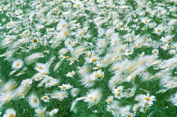 Daisies blowing in the wind, photograph by Brent VanFossen
