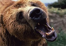 How up close and personal do you need to be to get this picture of a Grizzly Bear? Photo by Lorelle VanFossen