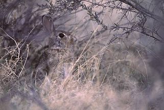 Hare in winter grasses, photograph by Brent VanFossen