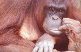 Orangatang sits with her finger in her mouth, photograph by Brent VanFossen