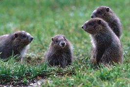 Baby marmots gather at the entrance to home, photo by Brent VanFossen