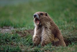 Marmot yelling, Olympic National Park, photo by Brent VanFossen