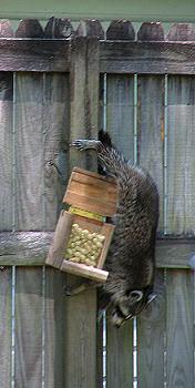 Raccoon climbs down to peanut feeder. photograph by Lorelle VanFossen