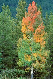 Growth played out in the changing colors of a tree in fall, photograph by Brent VanFossen
