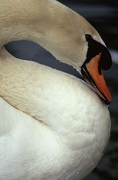 S curve found in the neck of swan, photograph by Brent VanFossen