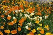 Poppy field, photograph by Brent VanFossen