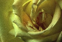 Spiral Yellow Rose