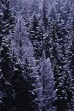 Using his 500mm lens, Brent was able to isolate this group of snow covered trees. Photo by Brent VanFossen