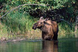 moosewater