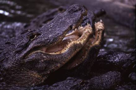 alligatormouth2a