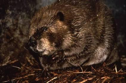 beavera
