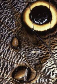 butterflyowlwinga